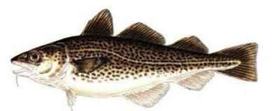 codfish-398-159.jpg